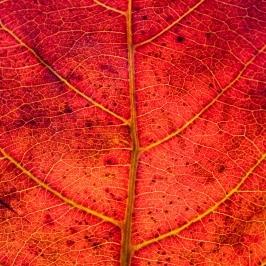 Rött löv